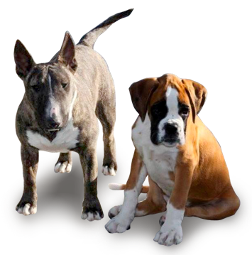 Photo de boxer et mini bull terrier